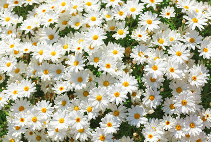 Sunny chamomile flowers background.