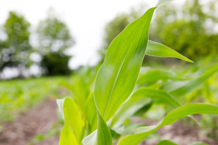 Corn plant leaf on the field