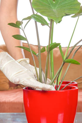 woman hands planting houseplants with gloves
