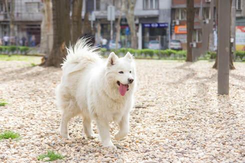 samoyed dog running outside