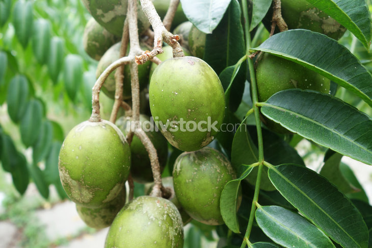 Ambarella fruits on the tree