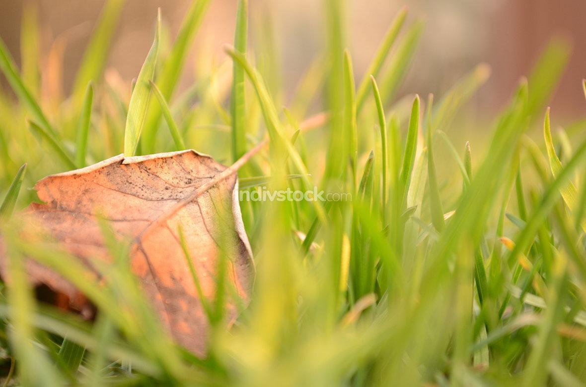 Fallen Leaf in Natural Grass Left