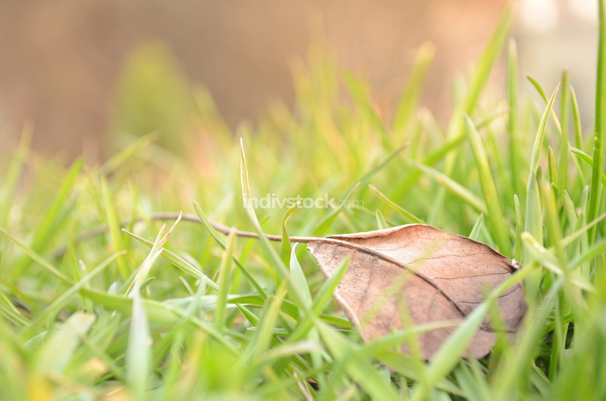 Fallen Leaf in Natural Grass Right