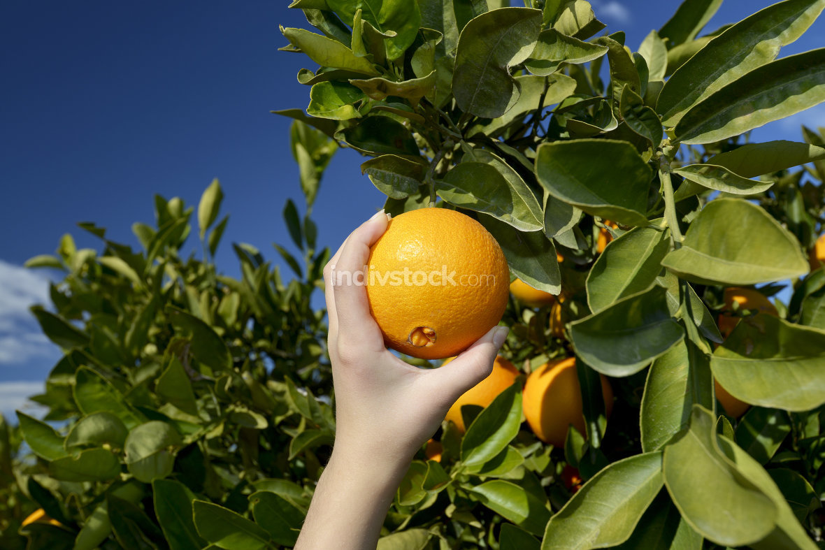 Hand picking orange from the tree