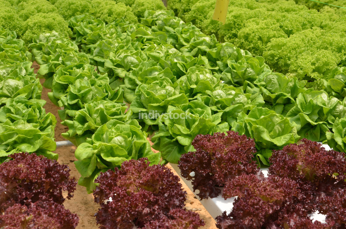 Hydroponic lettuce in greenhouse.