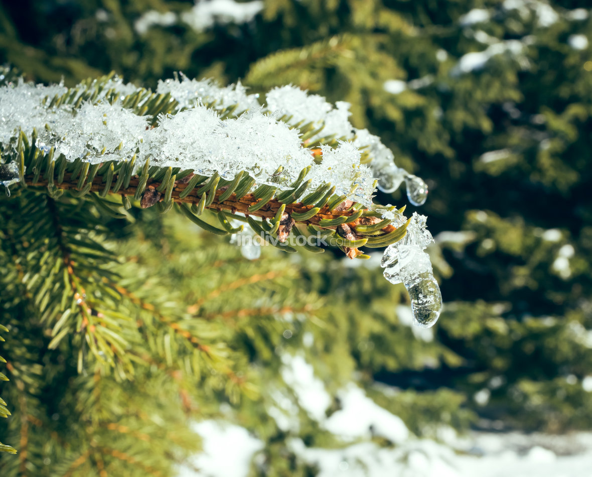 pine branch with ice