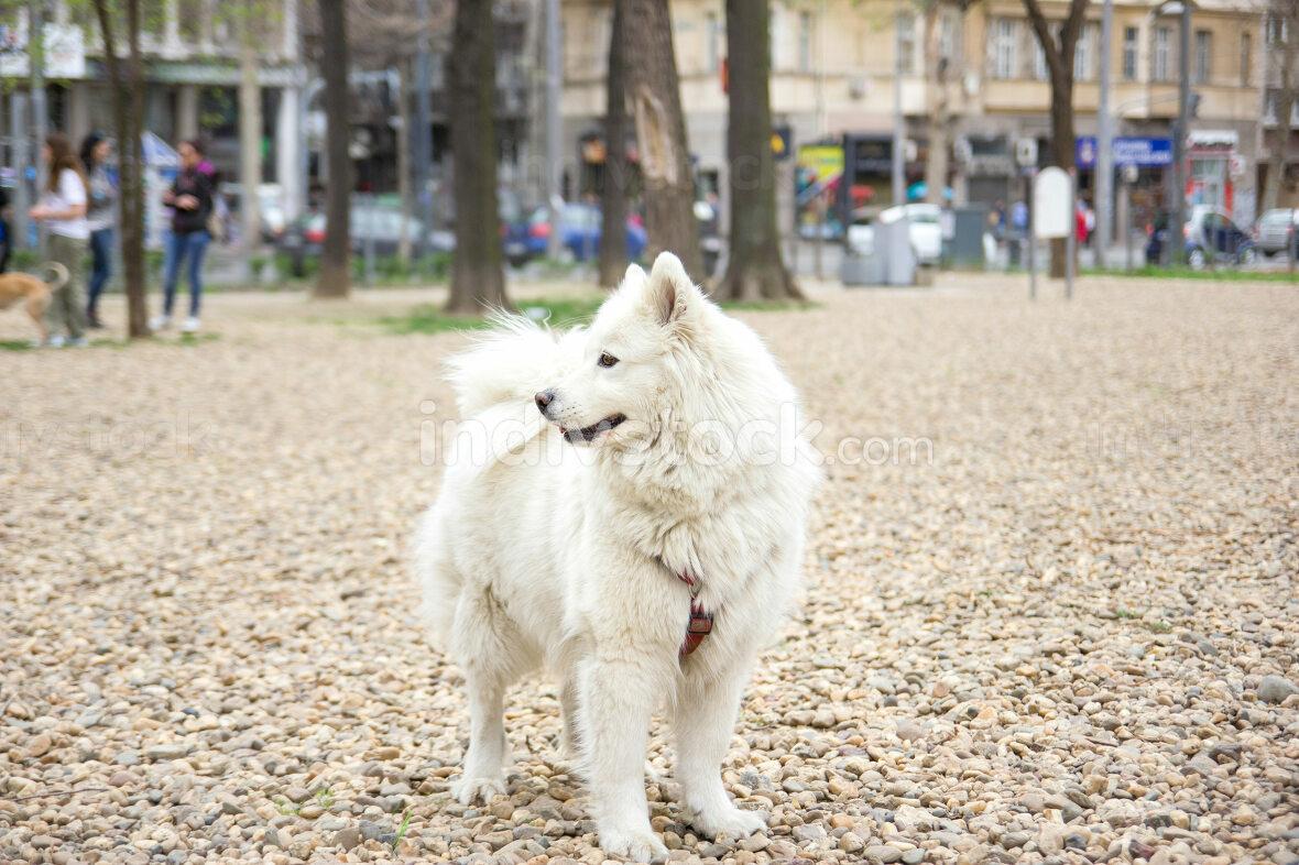 samoyed in park
