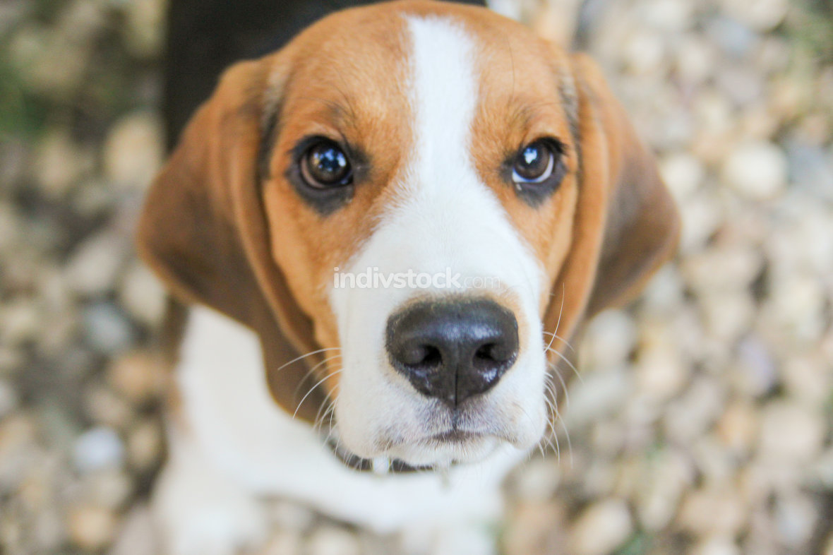 snout of beagle puppy dog