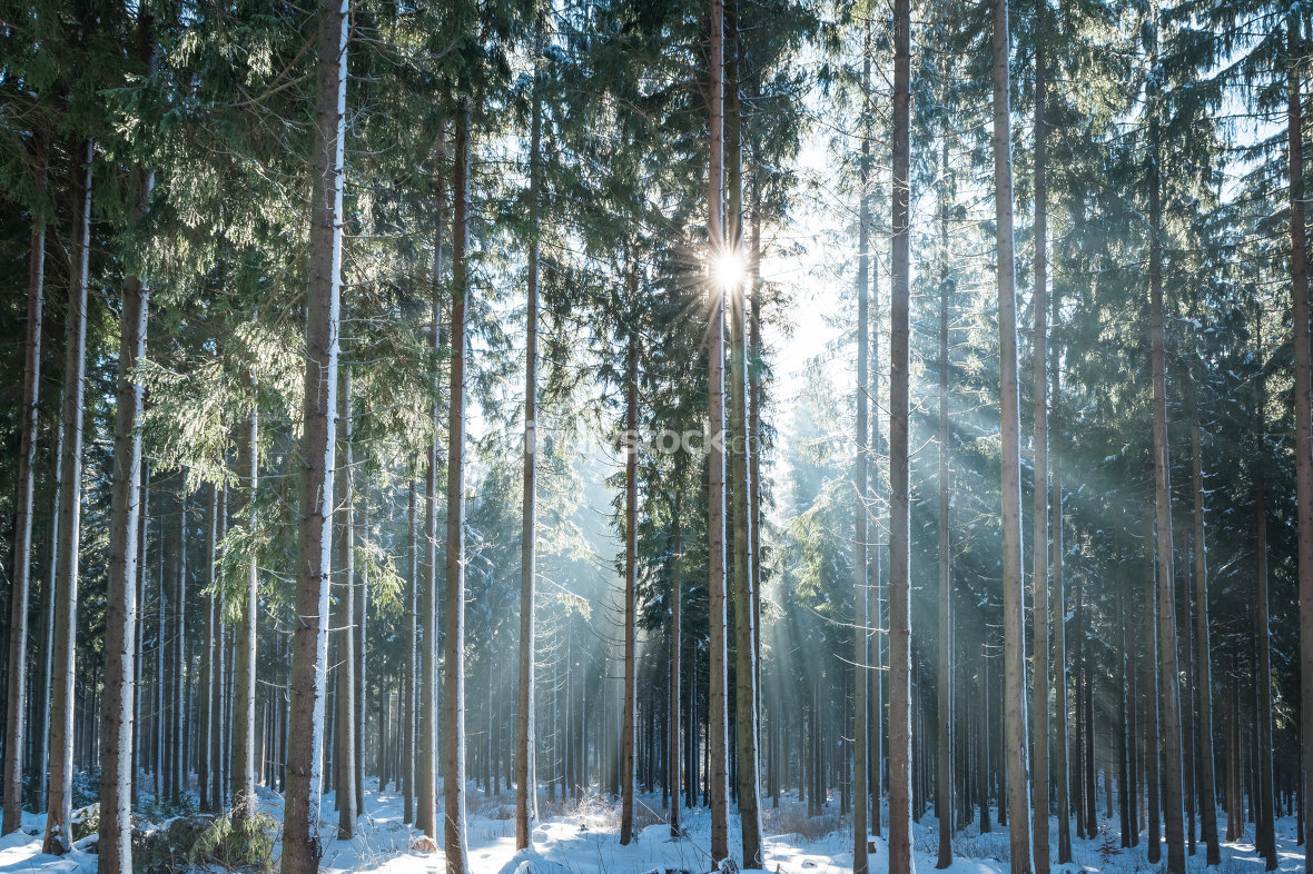 Sun in the winter forest