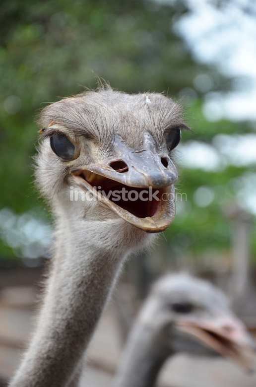 Wild ostrich stares into the camera with its curious gesture.
