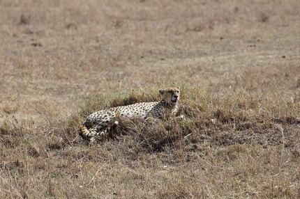 Cheetah relaxing in the savanna