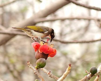 Chinese Bulbul Bird Drinks from Flower