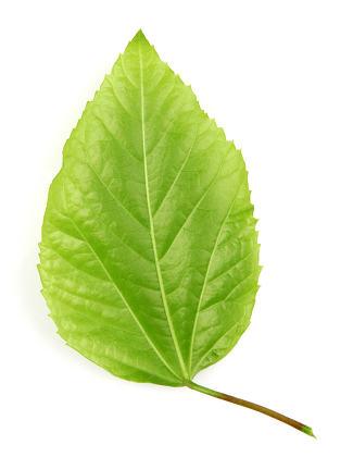 leaf on a white background