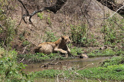 Lion relaxing in the savanna