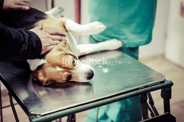 Dog at the vet in the surgery preparation room.