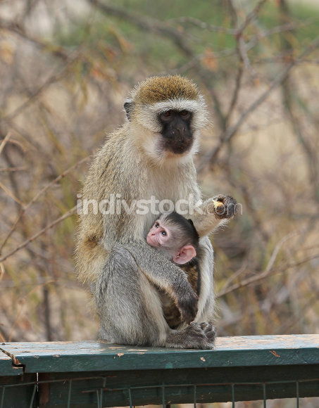 Little monkey with mom