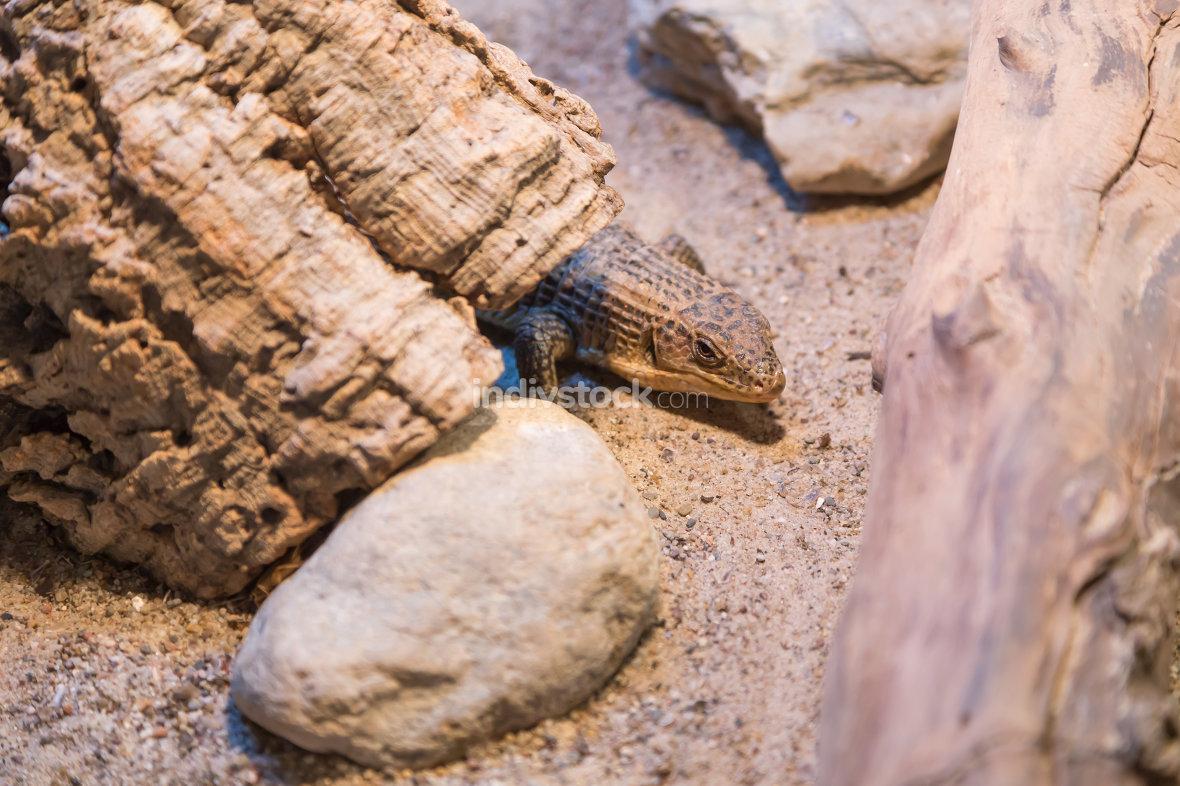 Lizard in the terrarium