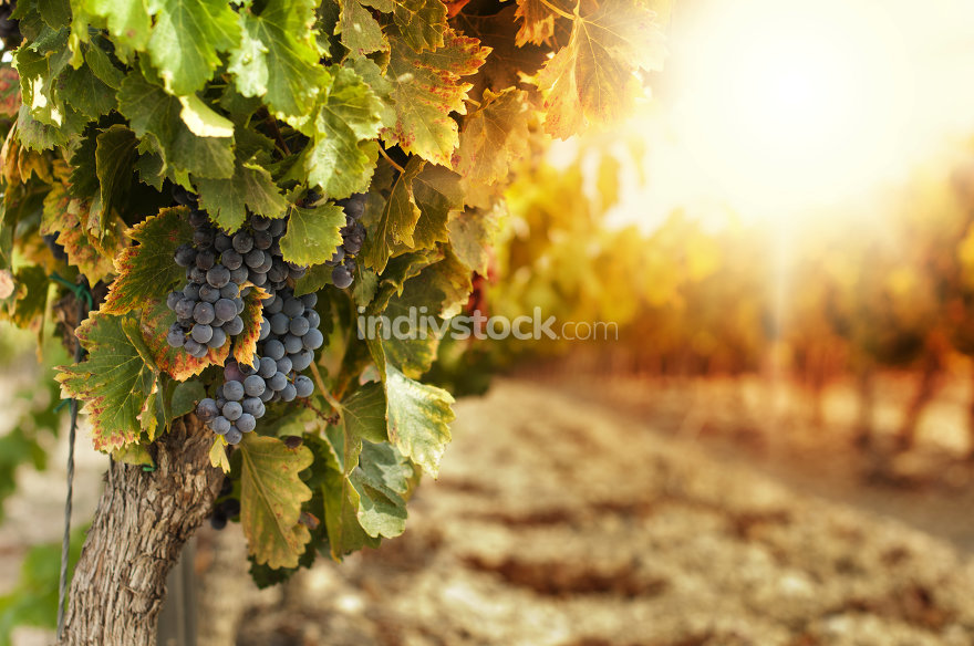 Vineyards at sunset