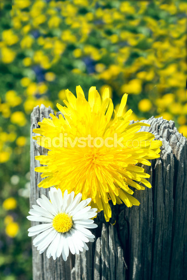 Daisy and dandelion on fence