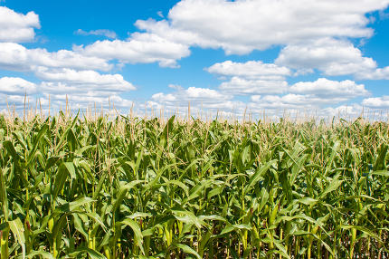 landscape of corn field with blue sky