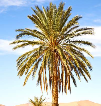 palm in the  desert oasi morocco sahara africa dune