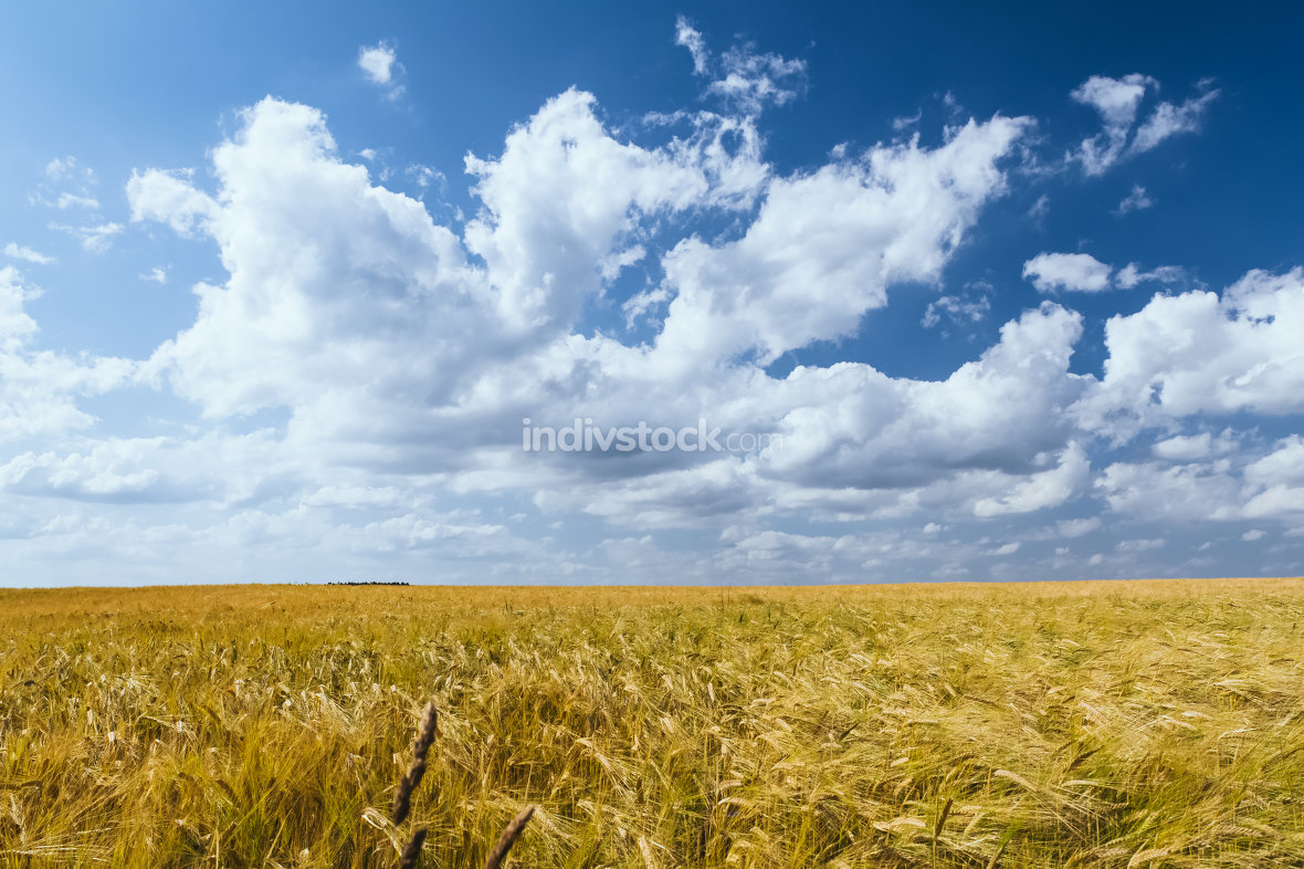 A cornfield with blue sky in summer