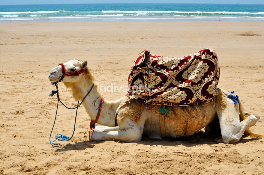 camel on the beach