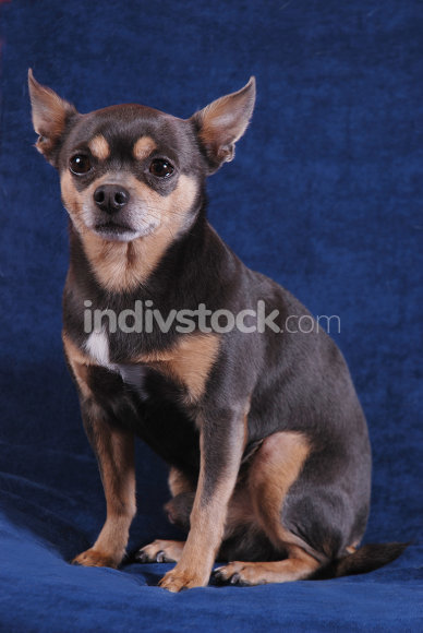 Chihuahua on blue