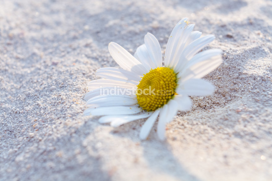 Daisies in Sand