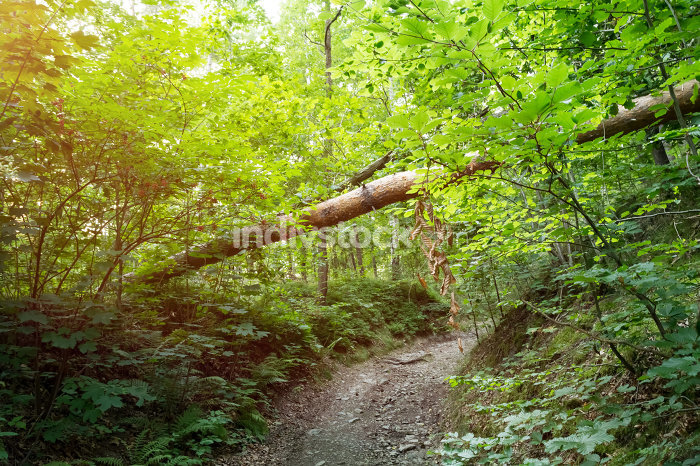 Forest path with tree trunk