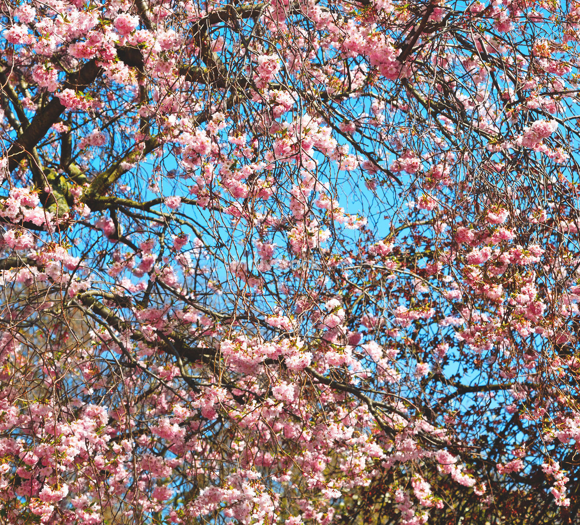 in london park the pink tree and blossom flowers natural
