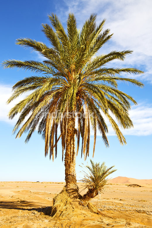 palm in the  desert oasi
