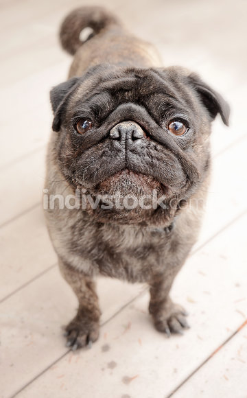 Pug standing outside on a patio