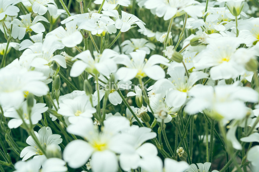 white summer flowers