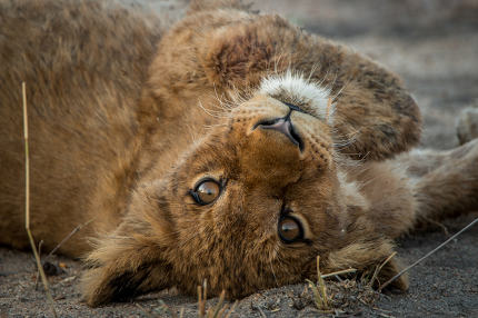 A Lion cub laying on his back and starring.