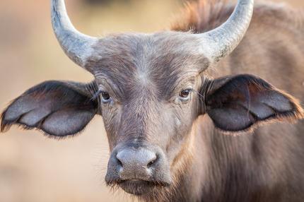 A young Buffalo starring at the camera.