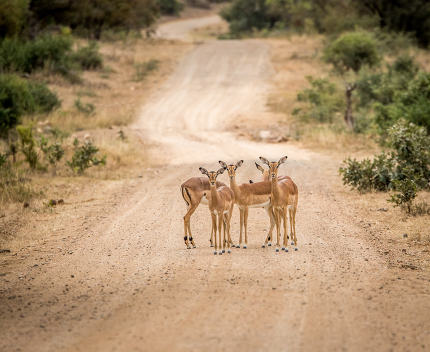 Group of starring female Impalas in the middle of the road.