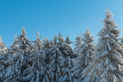 Pine forest covered with snow