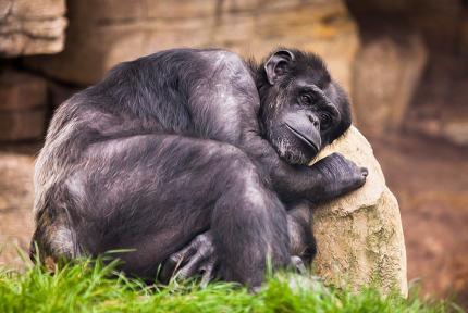 sad ape on a stone