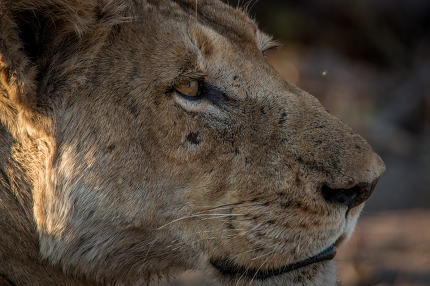 Side profile of a Lion in the Kruger National Park.