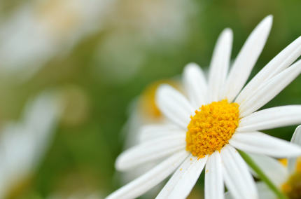 Soft focus white daisy flowers
