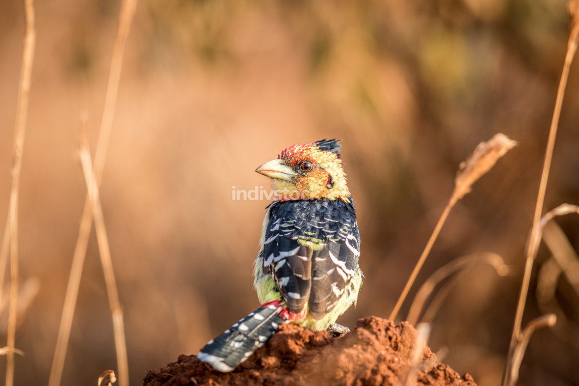 A Crested barbet sitting on a termite mount.