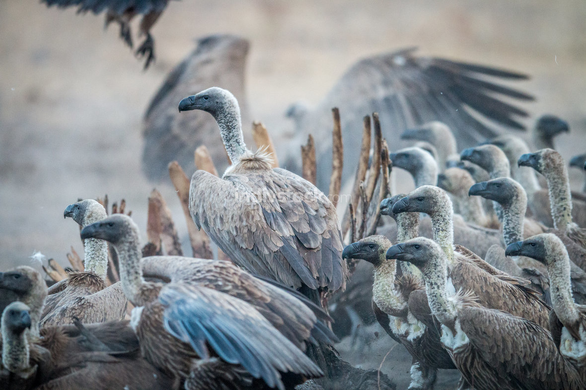 A group of White-backed vultures on a carcass.