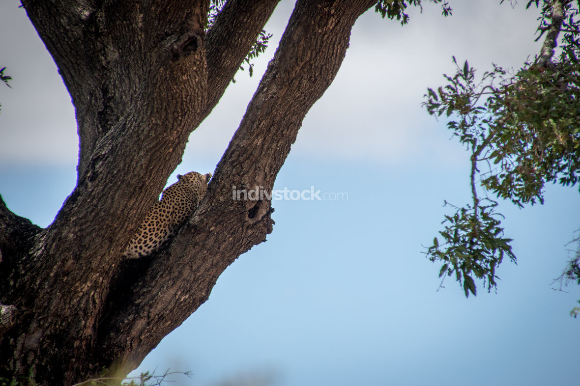 Back of a Leopard in a tree in the Kruger.`