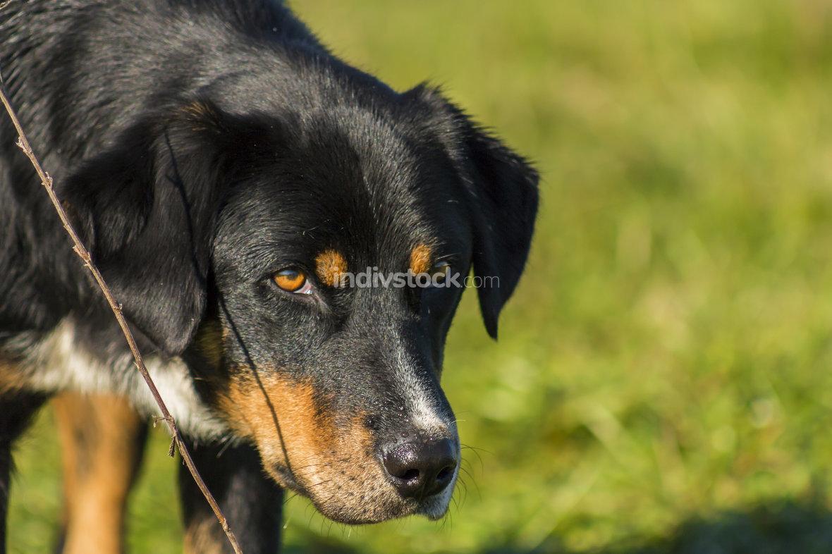 Black dog, close-up