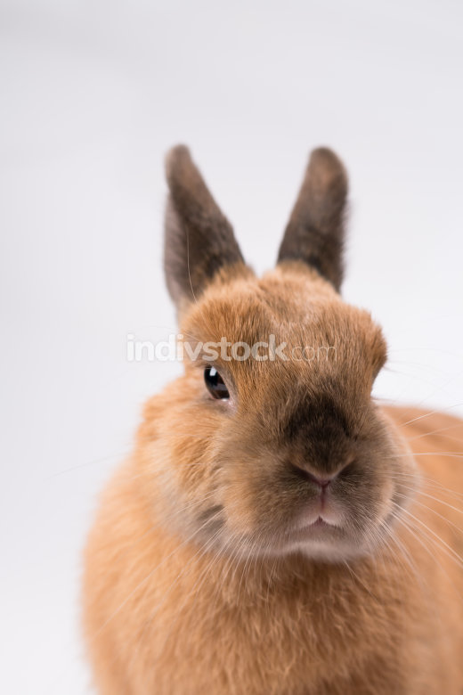 cute brown  bunny on white background