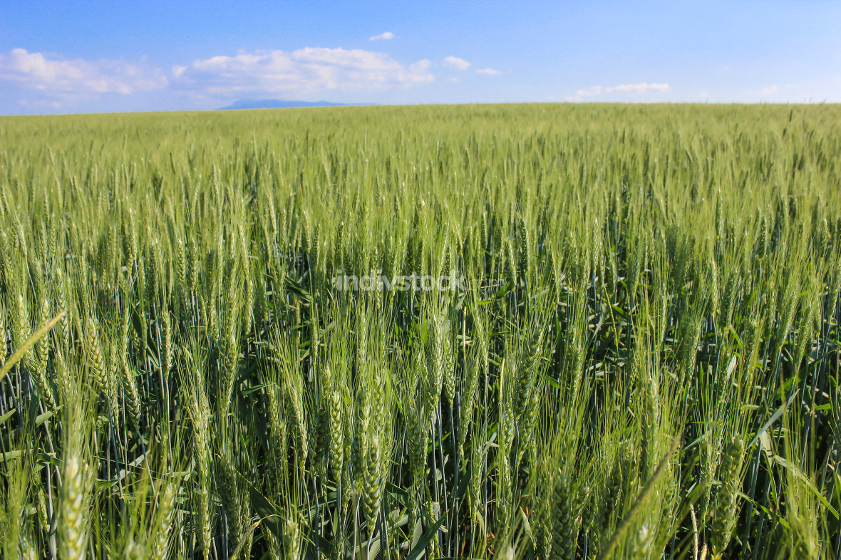 free download: landscape wheat fields on a sunny summer day