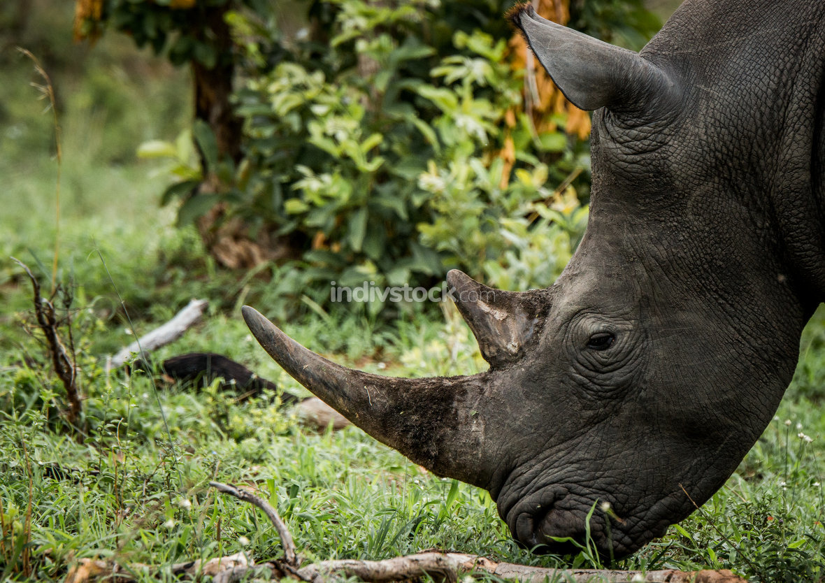 Grazing White rhino in the Kruger National Park, South Africa.