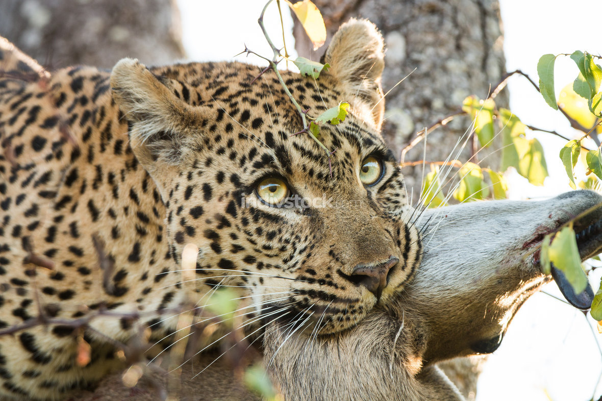 Leopard with a Duiker kill in the Sabi Sands