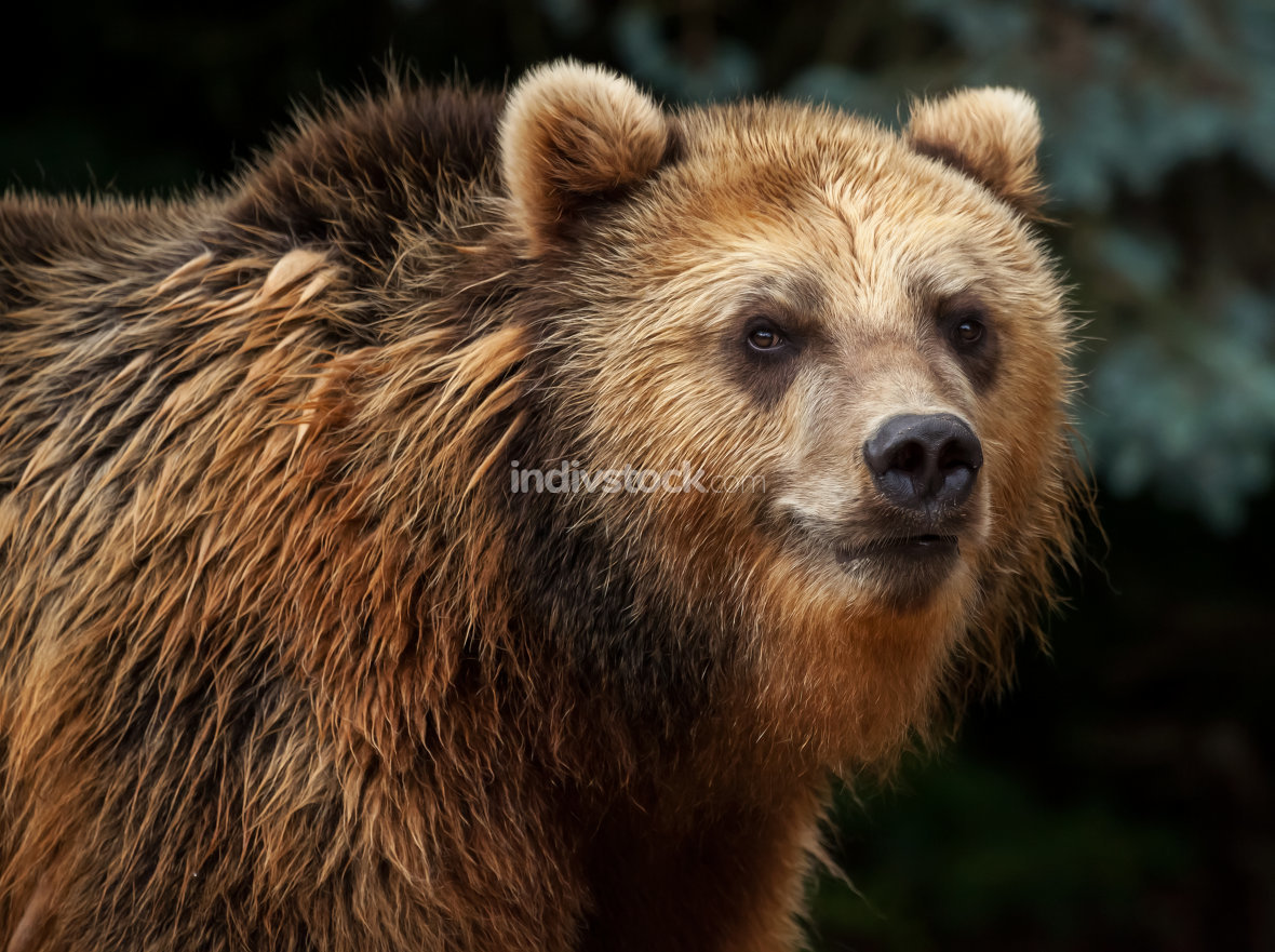 male brown bear looks to the camera